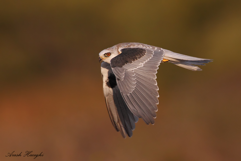 juvenile kite flight