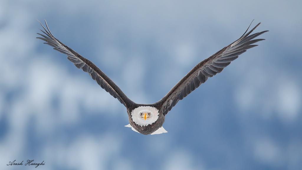 Incoming bald eagle