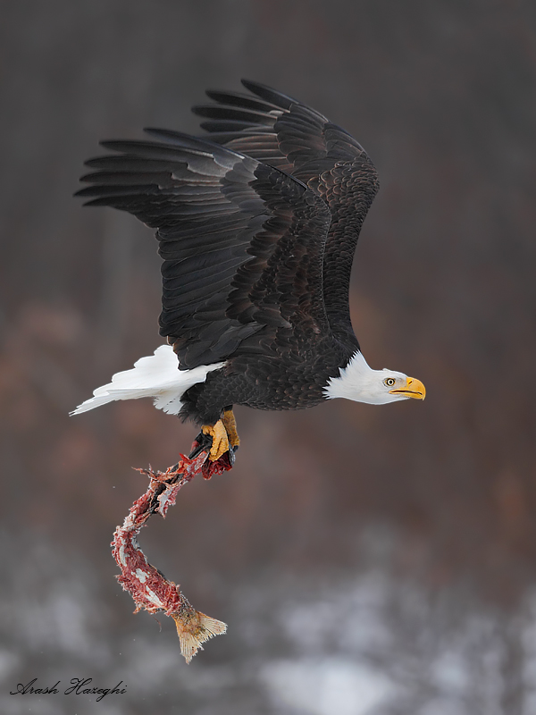 Bald eagle with salmon leftover