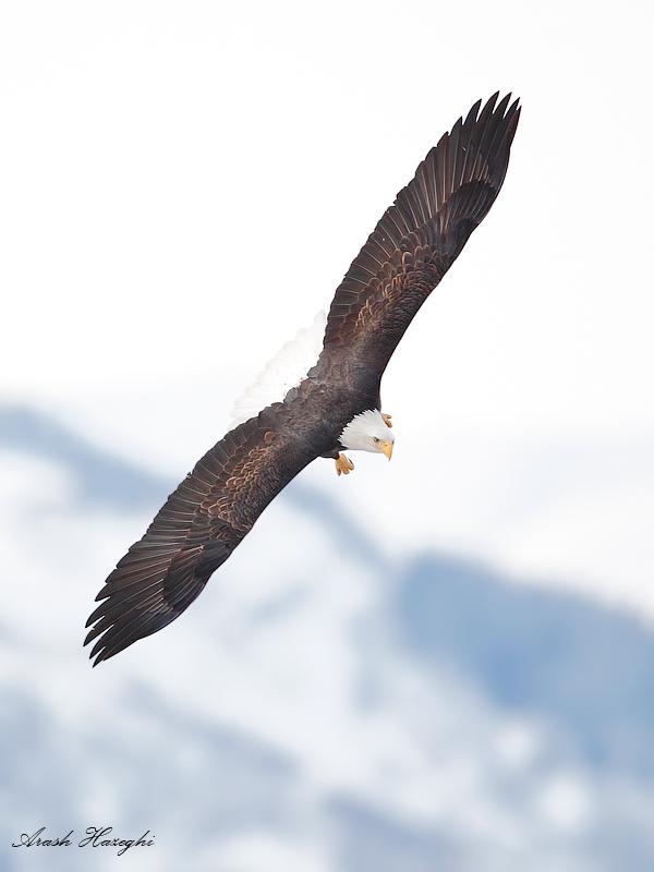 Bald eagle bank