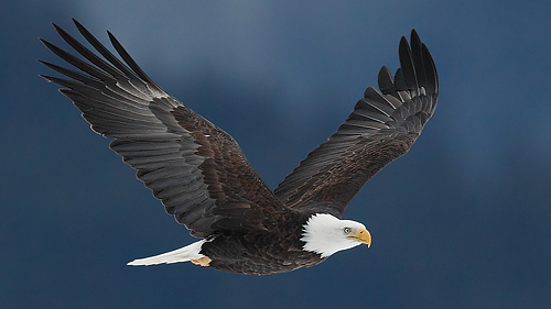 bald eagle against dark