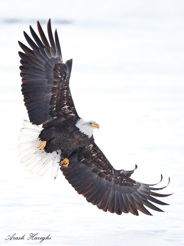 bald eagle attack