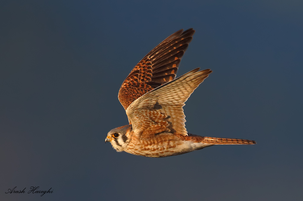 Female American kestrel against dark background (distant hills). EOS 1DX 840mm f/5.6 1/3200sec ISO 1000.