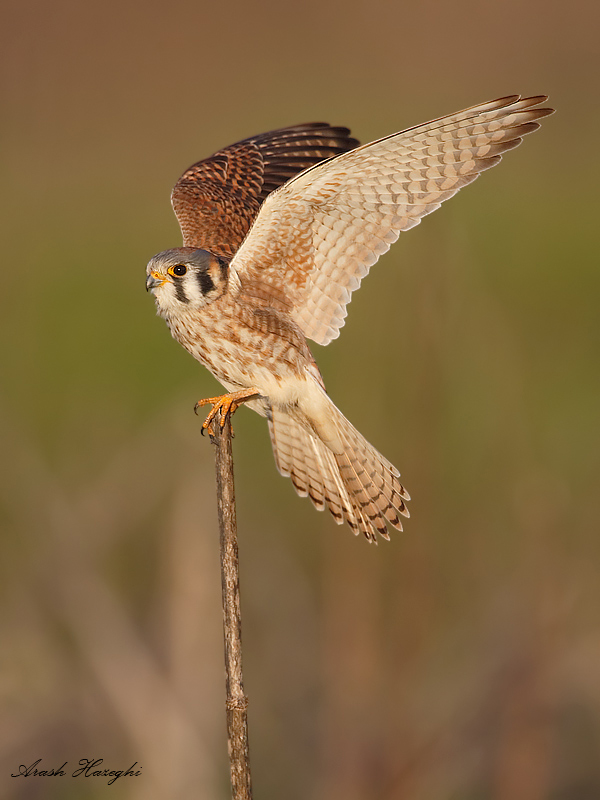 Female American kestrel. EOS 1DX, 840mm f/5.6 1/3200sec ISO 1600 handheld.