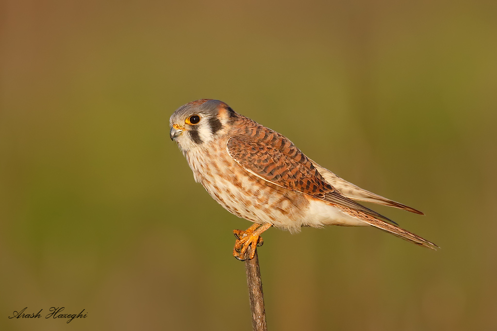 Female American kestrel, EOS 1DX, 840mm f/5.6 1/3200sec ISO 1600 handheld.