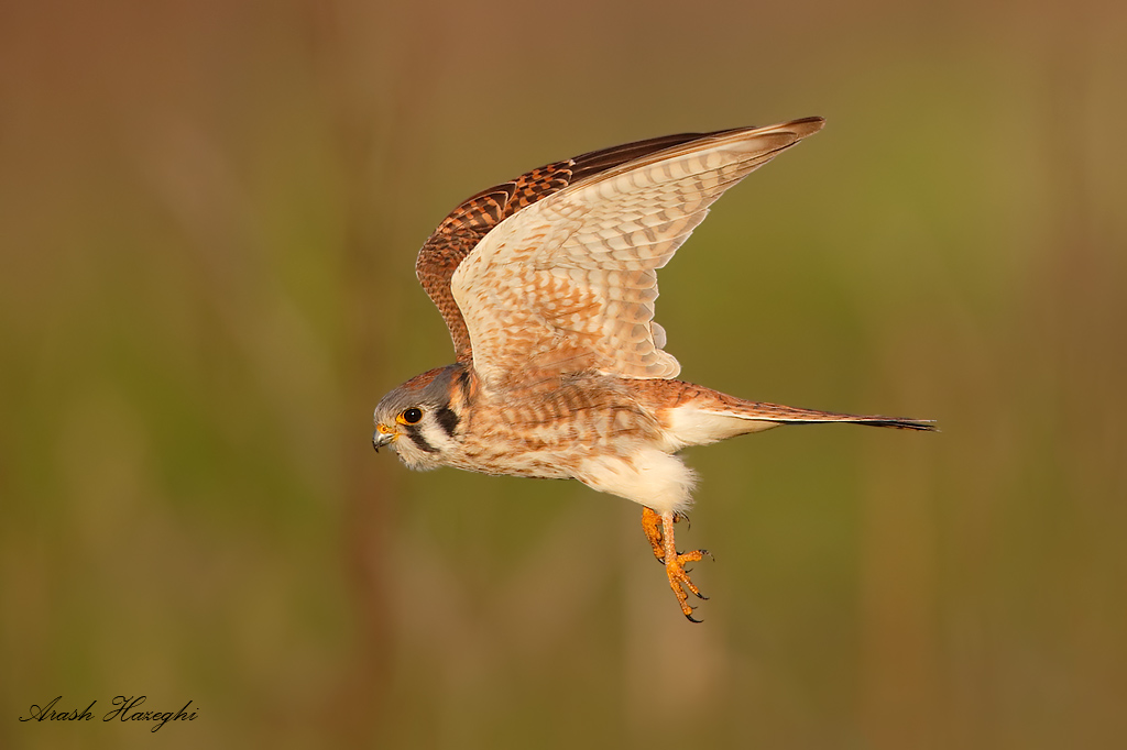 Female American kestrel. EOS 1DX 840mm f/5.6 1/3200sec ISO 1600 handheld. Click here to see an HD file.