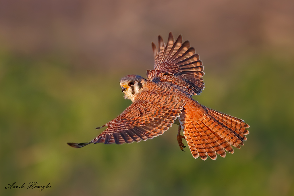 Female American kestrel. EOS 1DX 8400mm f/5.6 1/3200sec ISO 3200. Click here to see an HD file.