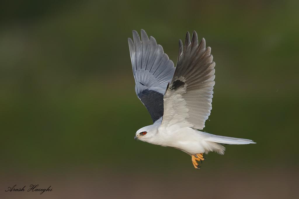 adult kite