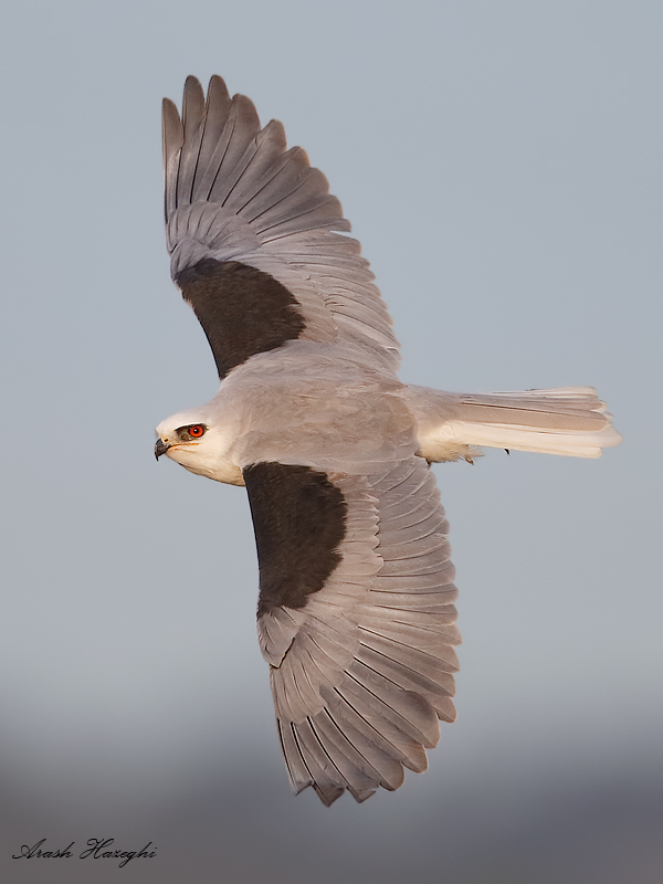 Adult White-tailed kite. EOS 1DX, 840mm f/5.6 1/2500sec ISO 1600 handheld.