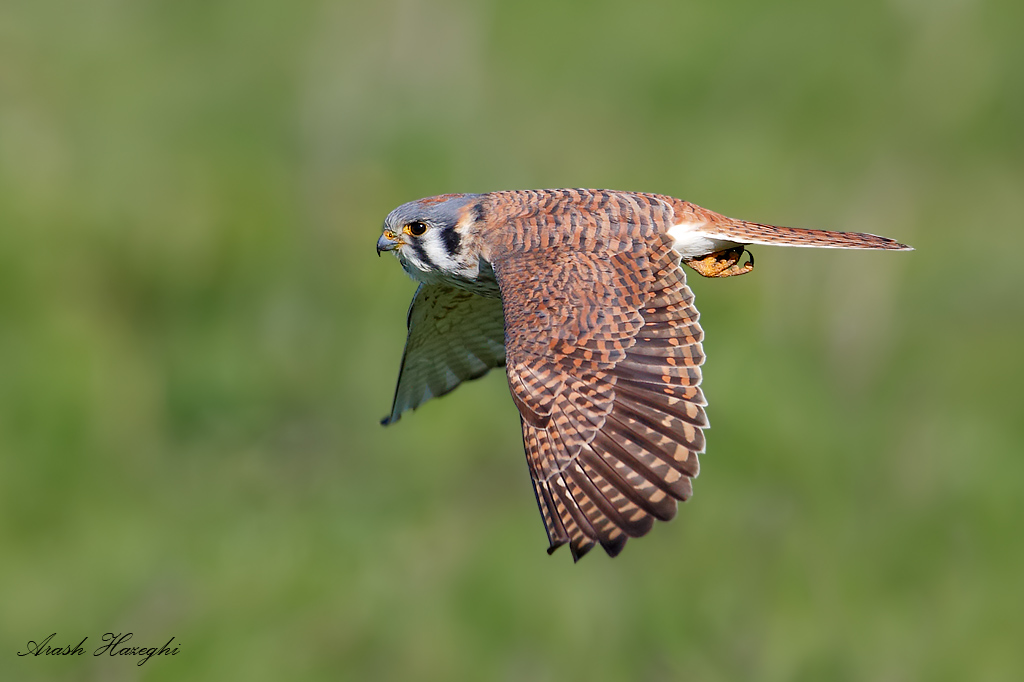 Female American kestrel, EOS 1DX 840mm f/5.6 1/2500sec ISO 500 handheld.