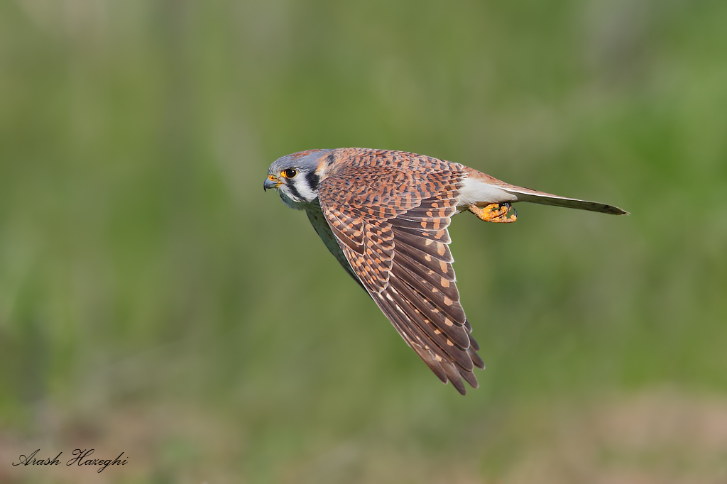 Female American kestrel. EOS 1DX 840mm f/5.6 1/2500sec ISO 500 handheld.