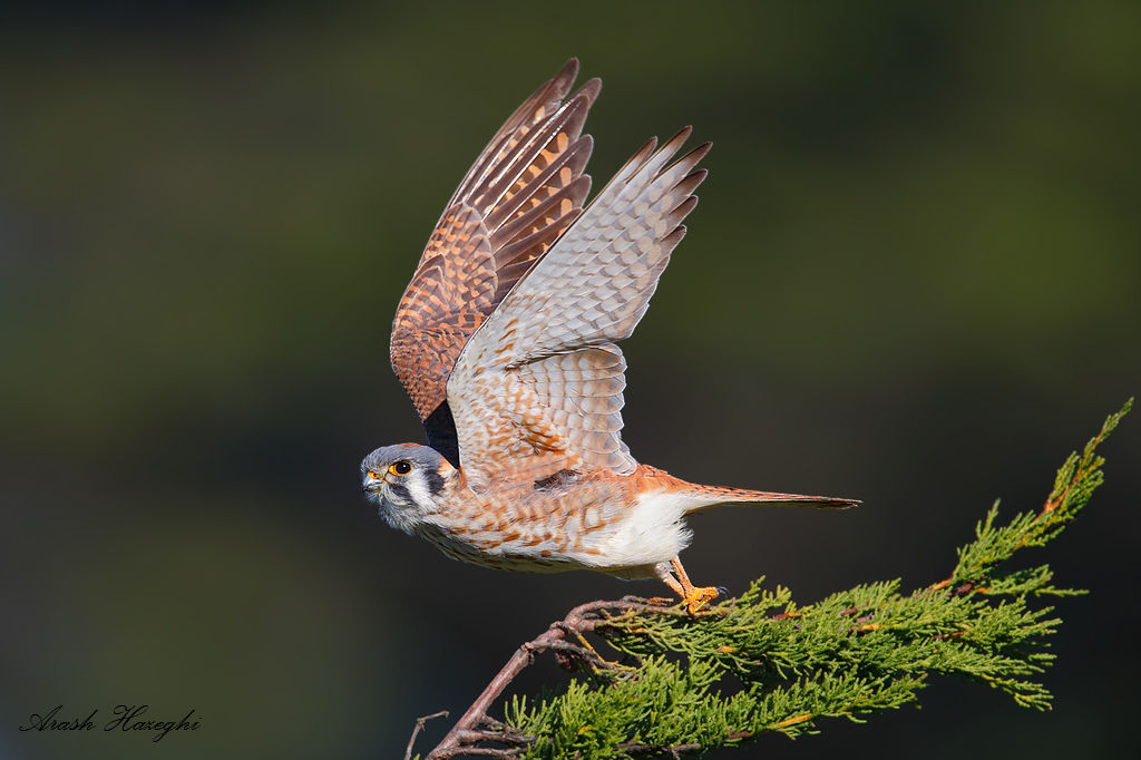 Female American kestrel take off against dark background (distant pine trees). EOS 1DX, 840mm f/5.6 1/3200sec ISO 640 handhold. Click here to see an HD file.
