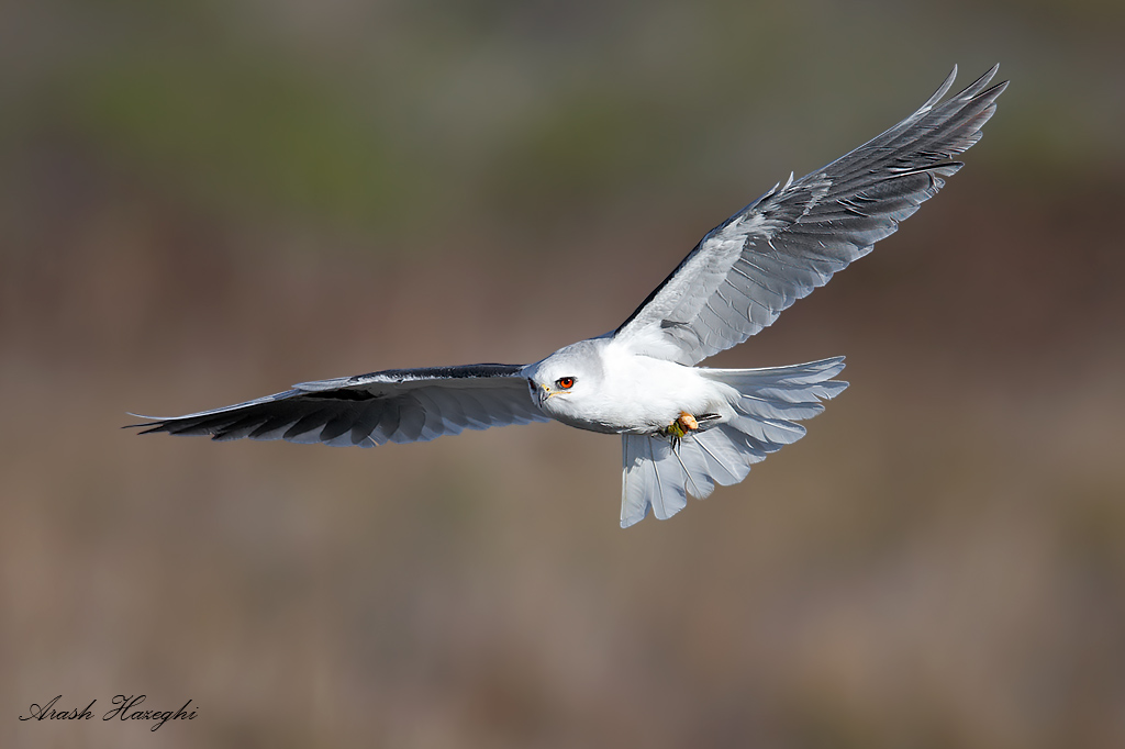 Adult white-tailed kite in sidelight.