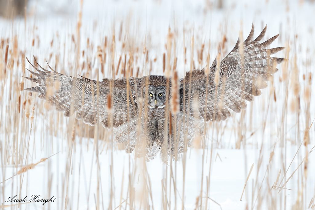 Great grey owl between cattails. EOS 1DX, EF 300mm f/2.8 IS II, f/4 1/2500sec ISO 500 handheld. single point AF.