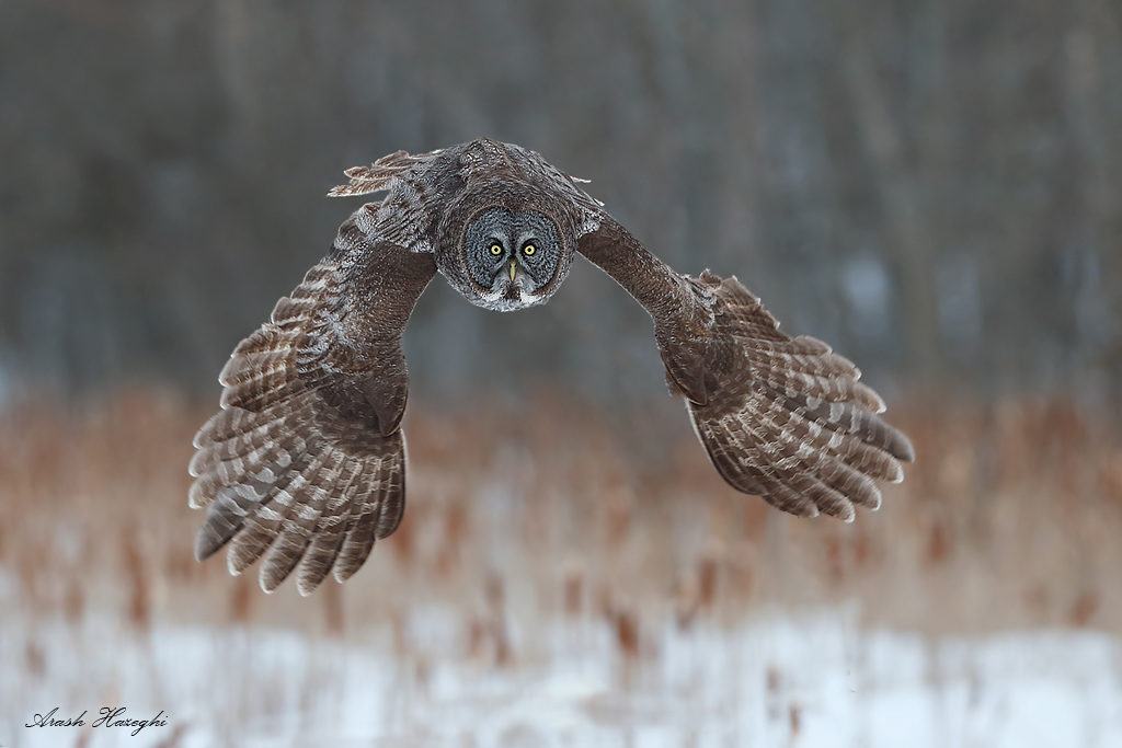 Great gray owl with full downstroke. The cattails are a part of owls habitat, they add a touch of color to the rather dull snow and frozen tree background.