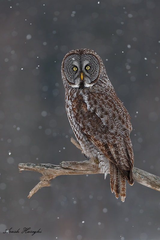 Great gray owl in falling snow. EOS 1DX, EF 300mm f/2.8 II, f/4 1/2000sec ISO 1250. I used fast shutter speed to freeze the snow flakes.