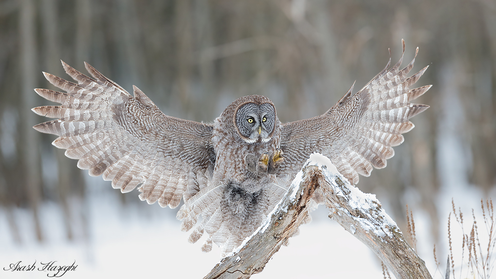 Landing owl, EOS 1DX, EF 300mm f/2.8 IS II f/4 1/2000sec ISO 1600.