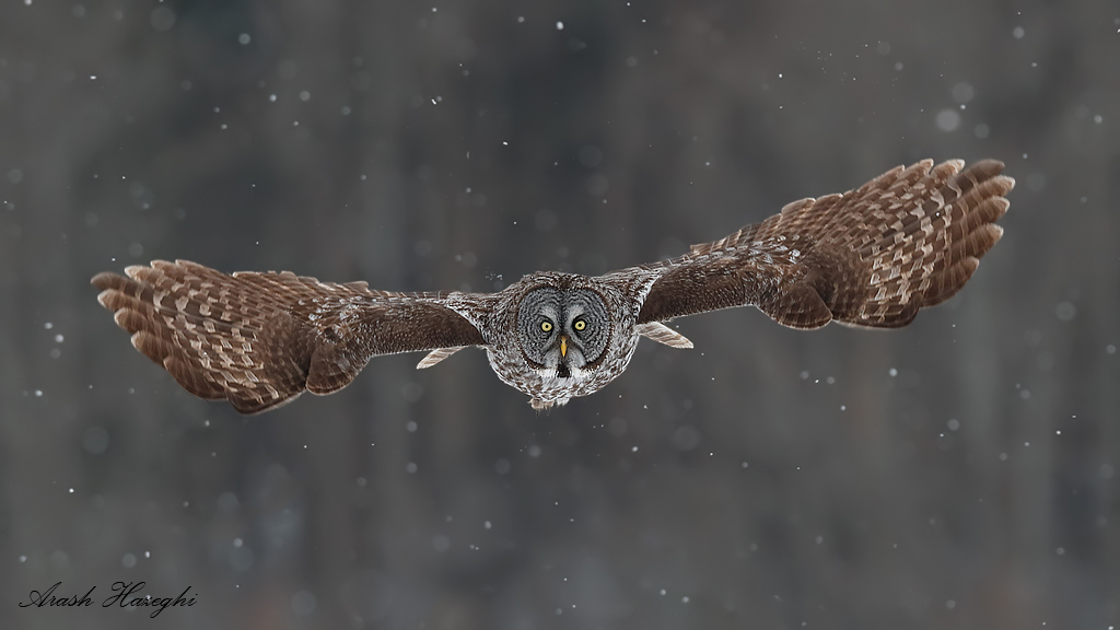 Great gray owl incoming in snow. EOS 1DX, EF 300mm f/2.8 II, f/4 1/2000sec ISO 1250.