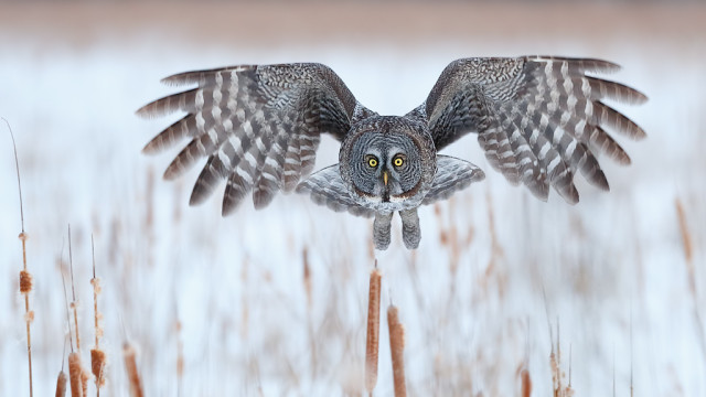 Great Gray Owls of Ottawa