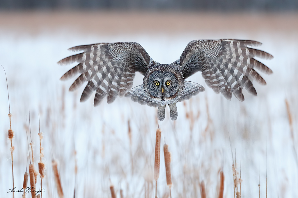 Incoming great grey owl. The owls fly very low, maneuvering just above the cattails. EOS 1DX EF 300mm f/2.8 II f/4 1/1600sec ISO 5000.