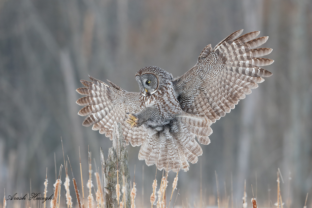 Landing great gray owl, EOS 1DX EF 300mm f/2.8 II f/4 1/2000sec ISO 1000. Those talons are very sharp!