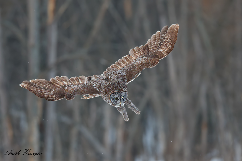 Great gray owl breaking for a dive. EOS 1DX, EF 300mm f/2.8 IS II, f/4 1/2000sec ISO 800.