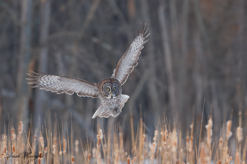 low altitude cruise. Owl scanning cattails for prey. EOS 1DX EF 300mm f/2.8 IS II, f/4 1/2000sec ISO 800.