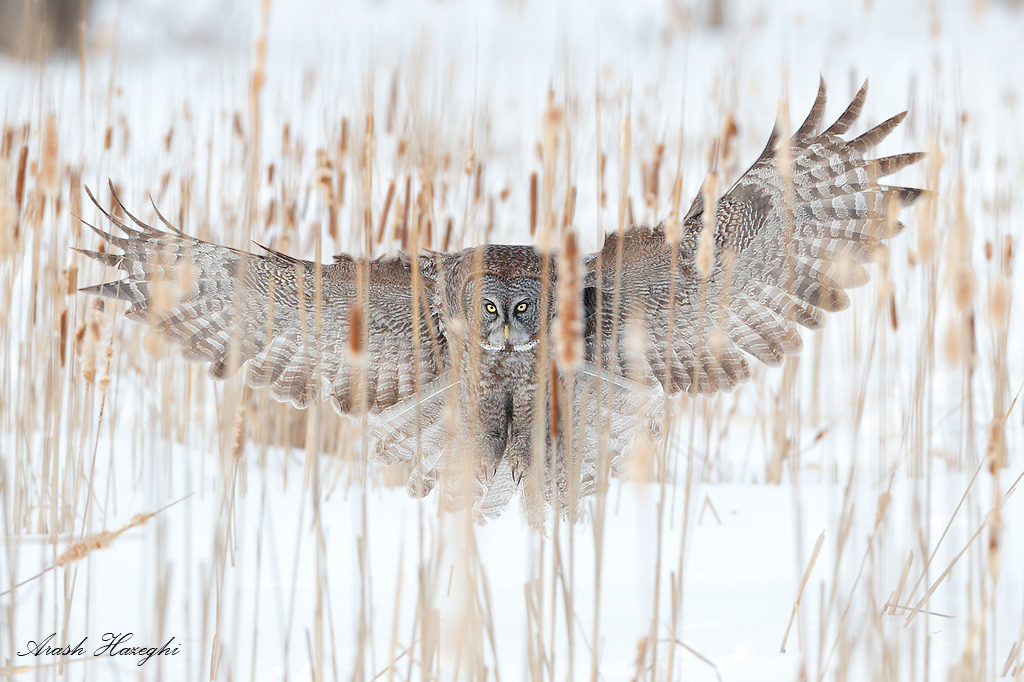 From behind the cattails. Great grey owl, EOS 1DX EF 300 f/2.8 IS II f/4 1/2500sec ISO 500.
