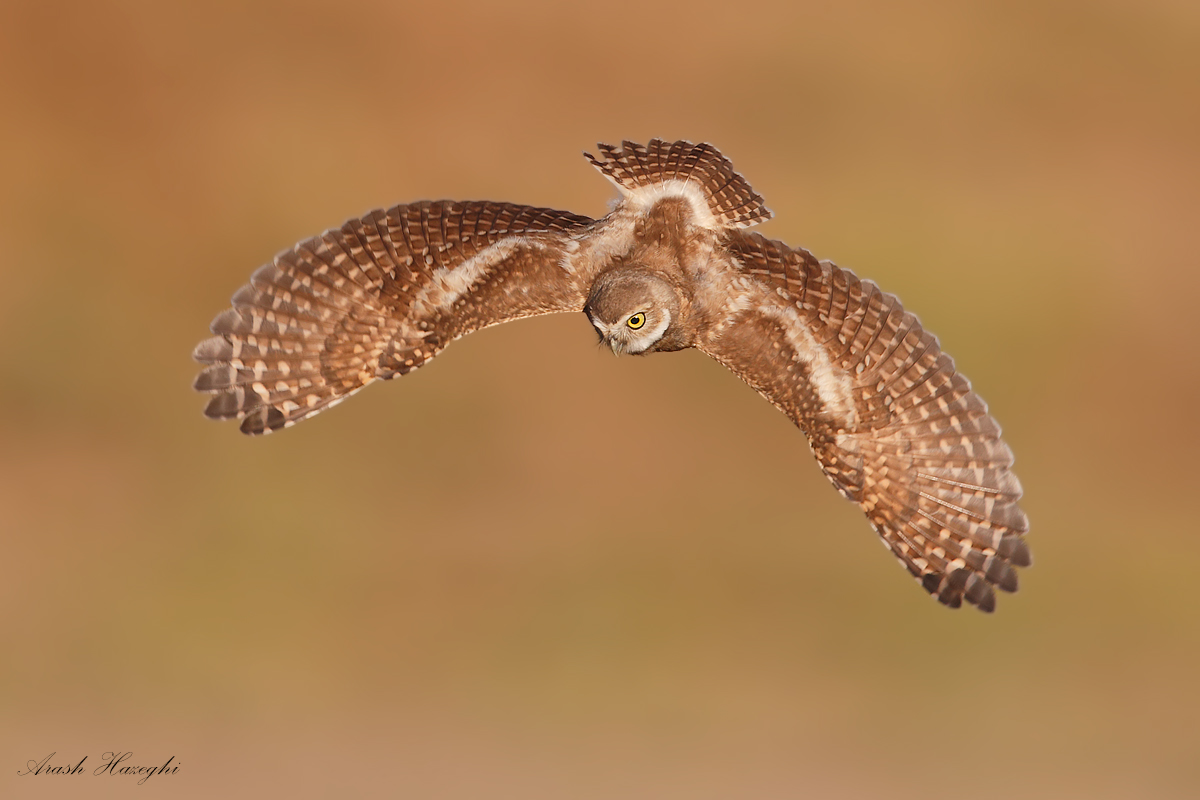 Diving juvenile Borrowing owl. EOS 1DX EF 600mm f/4 IS II. + EF Extender 1.4X III f/5.6 1/3200sec ISO640. Handheld. Click to enlarge.