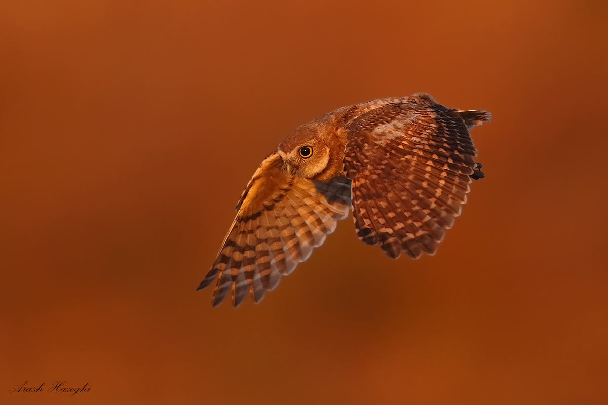 last light owl