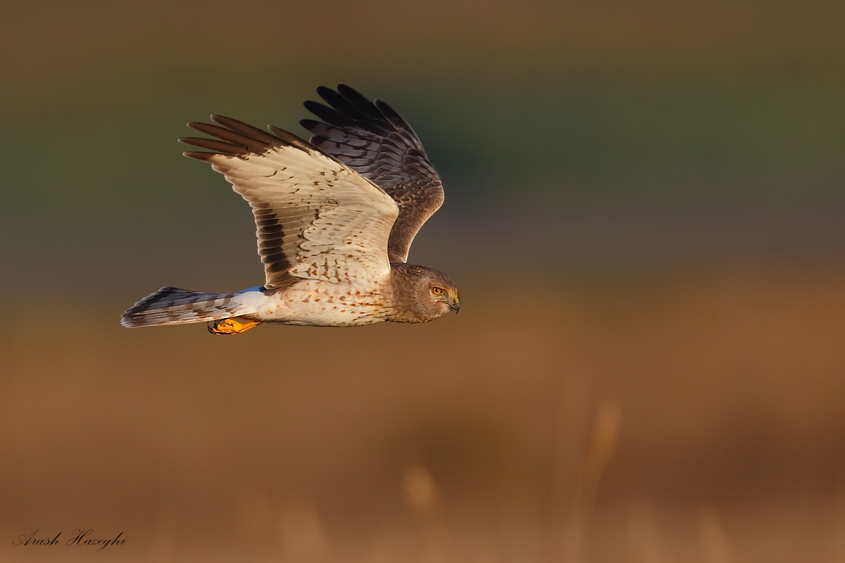 "Male Northern Harrier, aka ""the grey ghost"". EOS 1DX, EF 600mm f/4 IS II plus EF Extender 1.4X III f/5.6 1/3200sec ISO 1000 handheld. Click to enlarge."