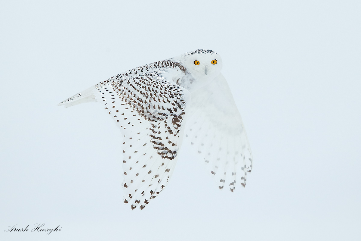 The spirit of Ottawa. Snowy owl against snow, EOS 1DX EF 500 f/4 IS II, f/5.6 1/2500sec ISO 1250 handheld.
