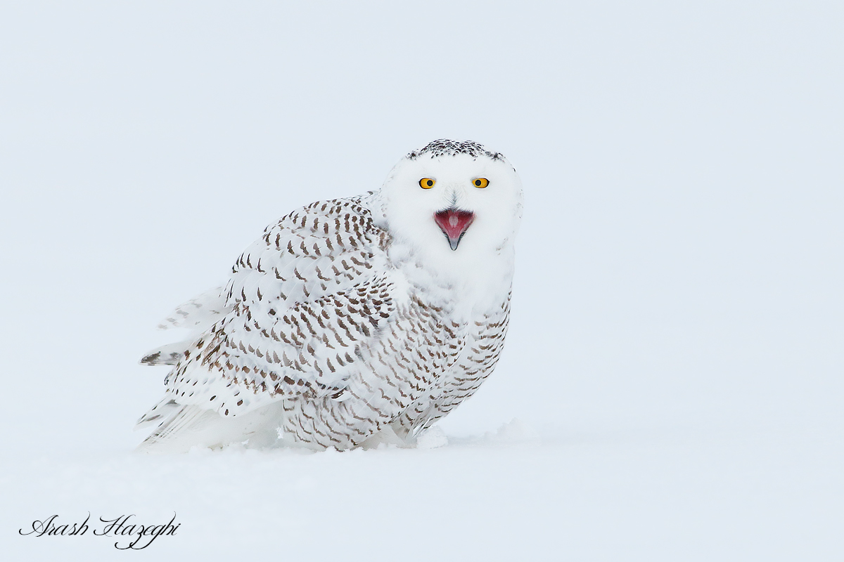 Snowy owl calling. EOS 1DX, EF 400mm f/5.6L f.5.6 1/1600sec ISO 3200. handhold while lying on snow.