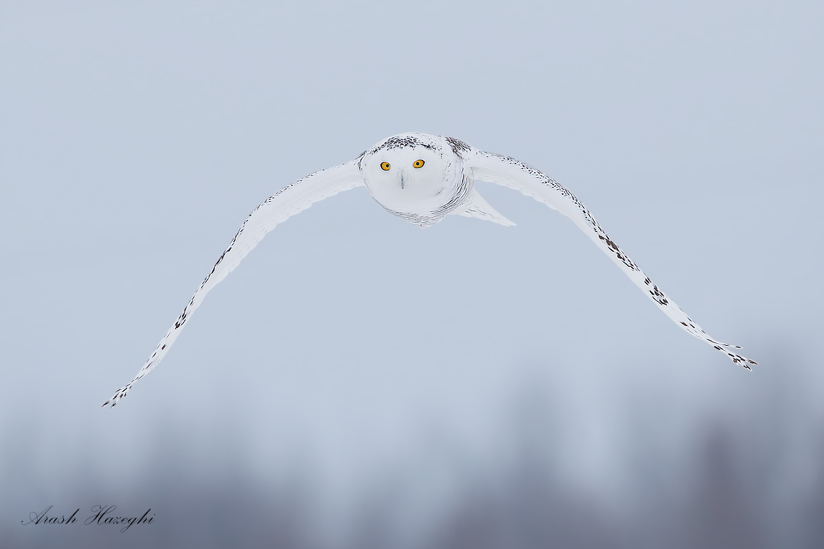 Snowy owl approaching. EOS 1DX EF 500mm F/4 IS II f/5.6 1/3200sec ISO 1600 handheld.