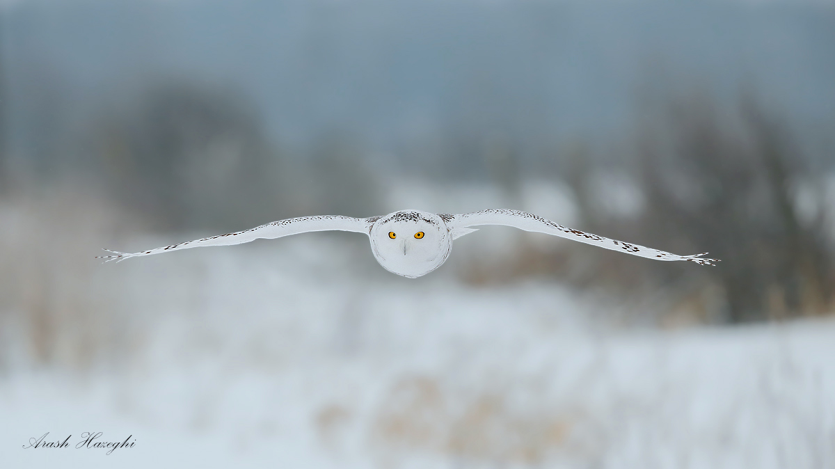 Snowy owl gliding above the ground. EOS 1DX, EF 500mm f/4 IS II f/5.6 1/2500sec ISO 1250 handheld. Click on the image to view larger.