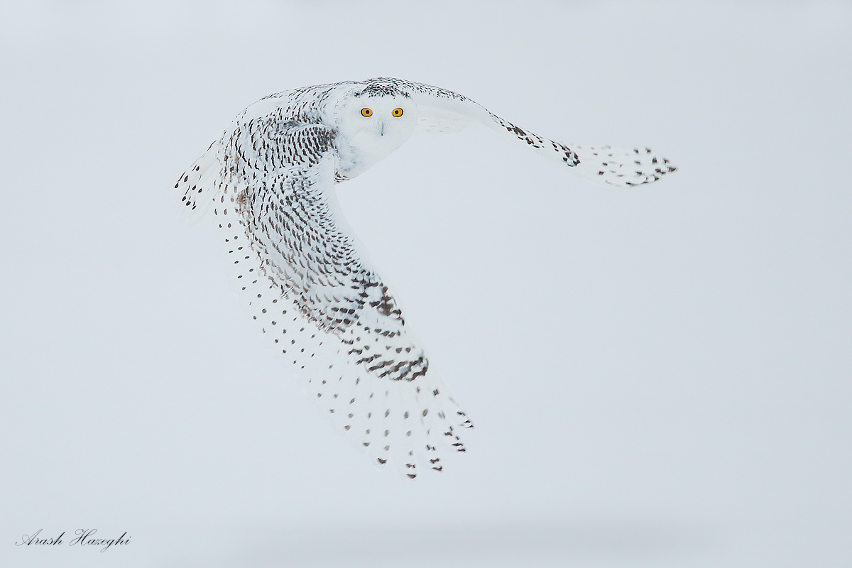 Snowy owl. EOS 1DX EF 400mm f/5.6 1/1600sec ISO10000, handhold. image made before dawn. Processing DPP 3.13 and Photoshop CS6.
