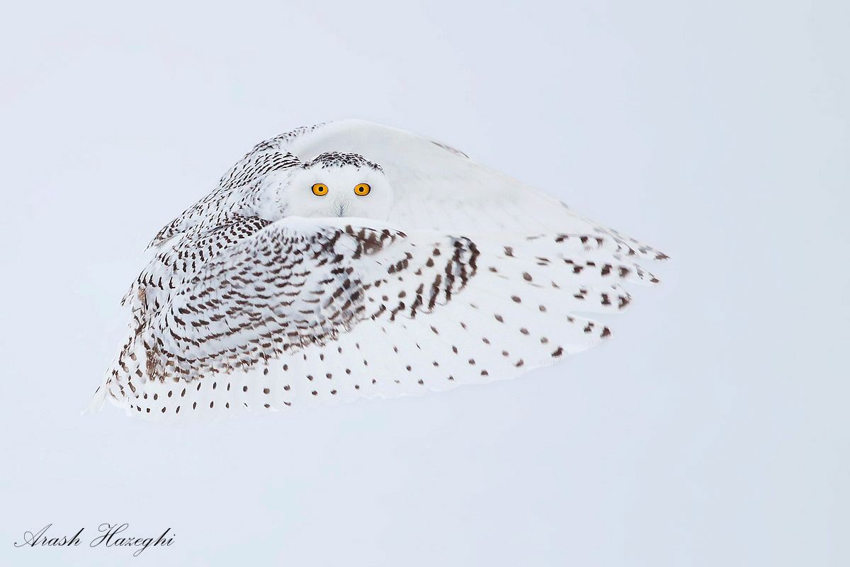 The ninja owl. EOS 1DX, EF 400mm f/5.6L 1/1600sec ISO 200 handheld. The snowy gave us great eye contact.