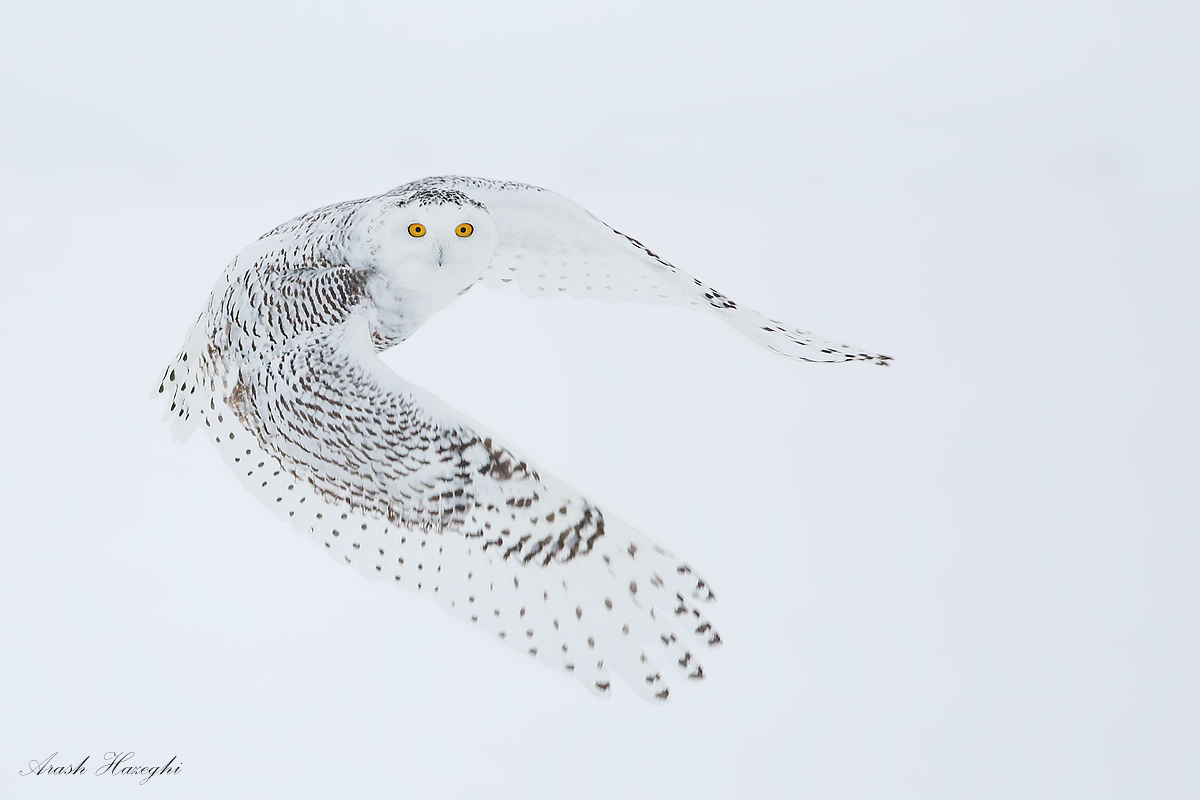 Snow owl against snow. EOS 1DX, EF 400mm f/5.6 L,  f/5.6 1/1600sec ISO 2000 handheld. At times it is difficult to locate the owl in the frame, especially if you momentarily lose it.