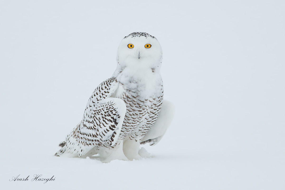 Female Snowy owl standing on snow. EOS 1DX, EF 400 f/5.6L, f/5.6 1/2000sec ISO 2000, handheld.