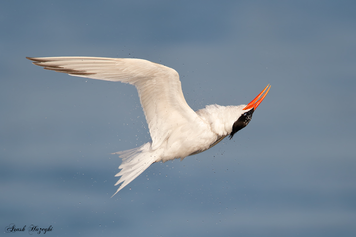 Elegant Tern roll after a dive. EOS 1D-X EF 600mm F/4 IS II + Extender 1.4X III. ISO 800. 1/4000sec at f/5.6. Hand held.