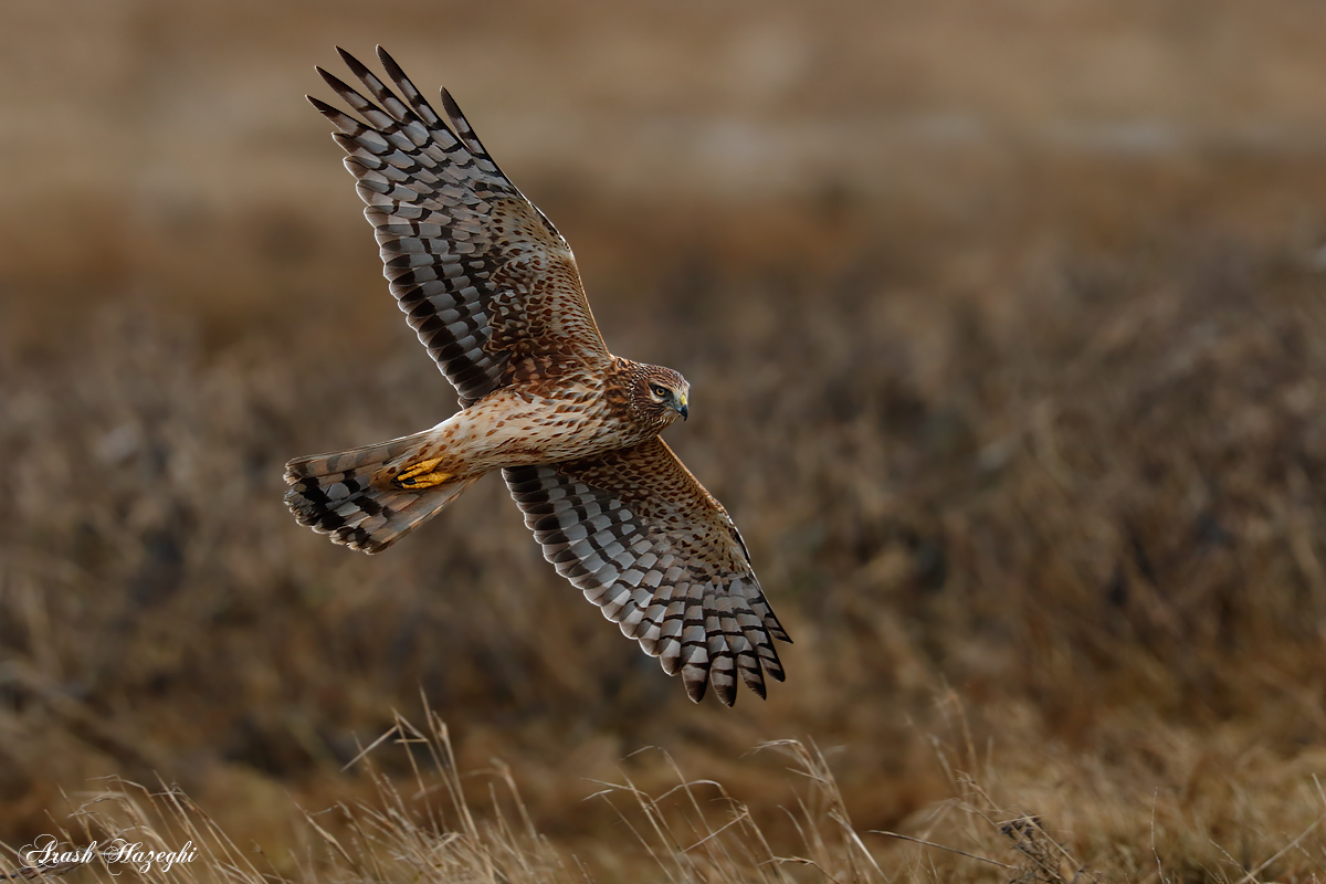 Female Northern Harrier flight in habitat. Shot with EOS 1D-X and EF 300mm f/2.8 II plus Extender 2X III. ISO 2000. f/5.6 at 1/2000sec. Hand held.