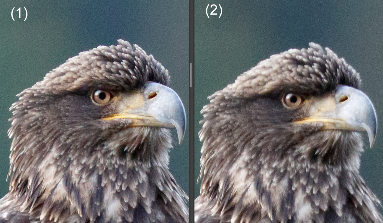 100% crop from RAW. images 1 and 2 are two consecutive frames in a burst. Image 1 is noticeably sharper than 2. EOS 7D Mark II, EF 100-400 L IS II. ISO 3200, f/5.6 at 1/640sec. hand held.
