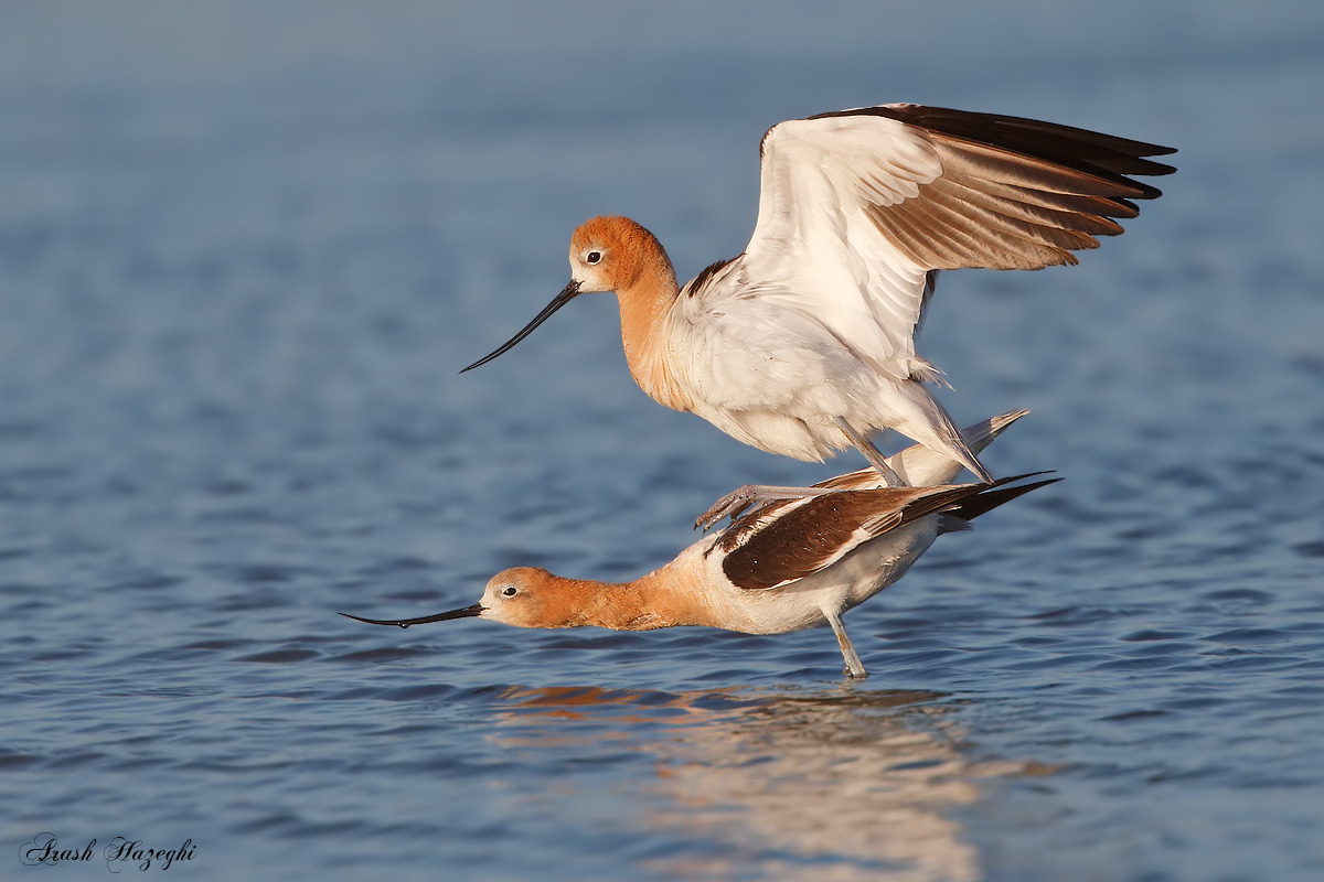 American Avocets mating in breeding plumage. EOS-1D X  with EF 400 DO II + Extender 2X III. ISO 1600. f/8 1/3200 sec. Processed with DPP 4.3.