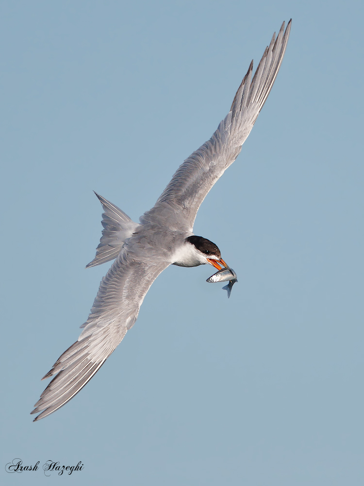 Forster's Tern with fish. EOS-1D X, EF 400 DO f/4 IS II + Extender 2X III. ISO 1250. f/8 at 1/3200sec. Hand held. RAW processed with DPP 4.3.
