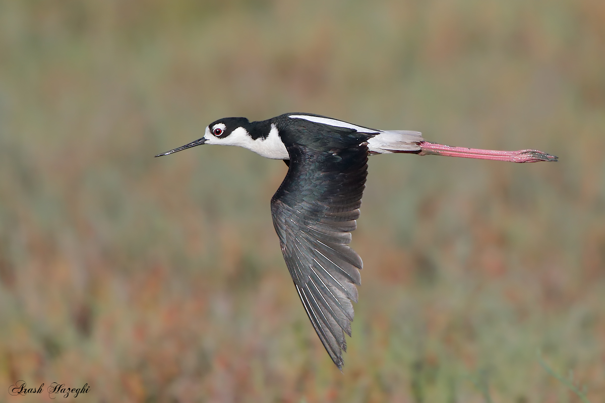 Black-necked Stilt. EOS-1D X , EF 400mm f/4 DO IS II. ISO 1250. f/8 at 1/2500sec. Hand held. RAW processed with DPP 4.3.