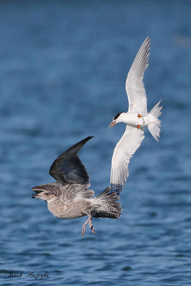 Forster's Tern chases a seagull. EOS-1D X, EF 400mm f/4 DO IS II + Extender 2X III. ISO 1250. f/8 at 1/3200sec. Hand Held. RAW processed with DPP 4.3.