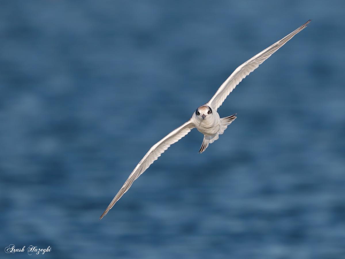incoming tern