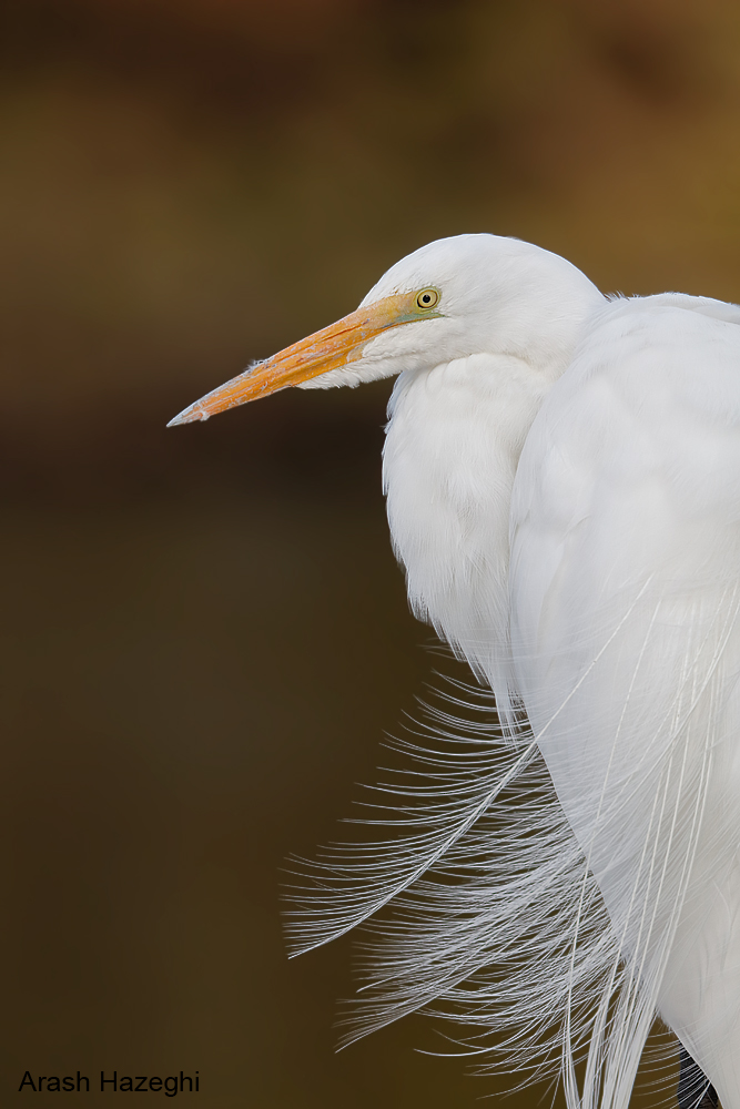 Great Egret, EOS 5DS R, EF 400mm f/4 DO IS II plus EF Extender 2X III. ISO 1600. F/8 at 1/1000sec. Hand held.