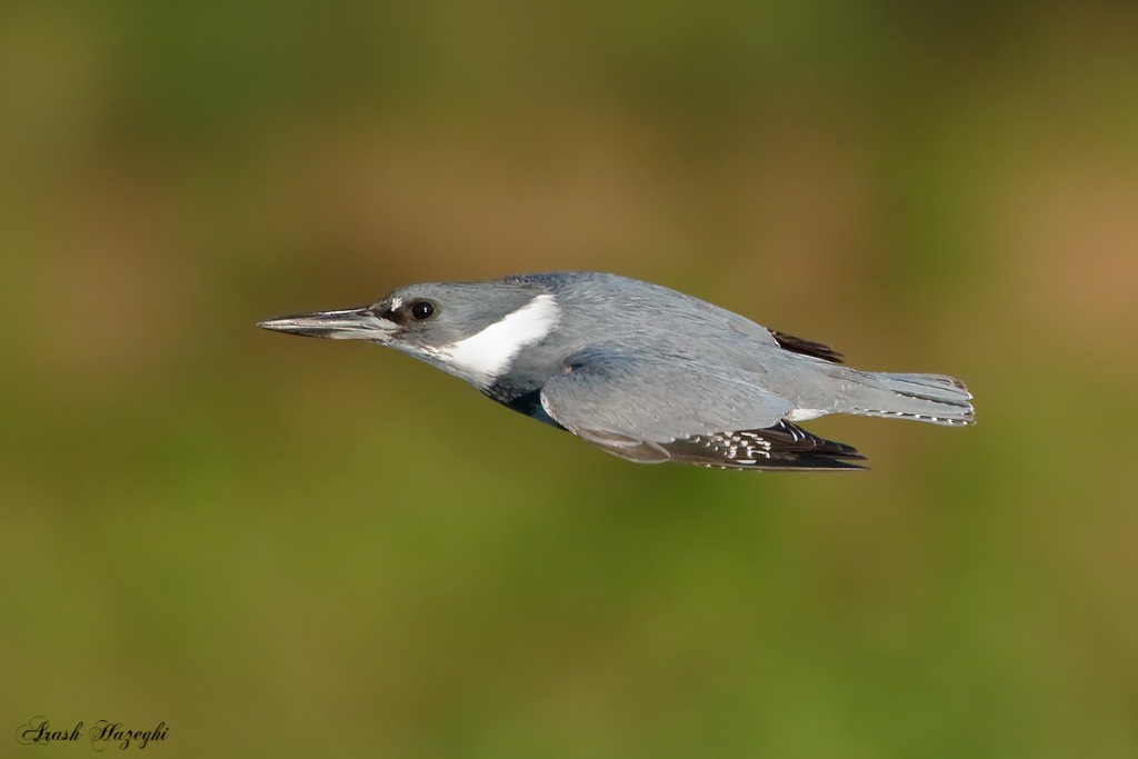 Belted Kingfisher in flight. EOS 7D Mark II, EF 400mm f/4 DO IS II plus Extender 2X III. ISO 1000. F/5.6 at 1/2500sec. Hand held.