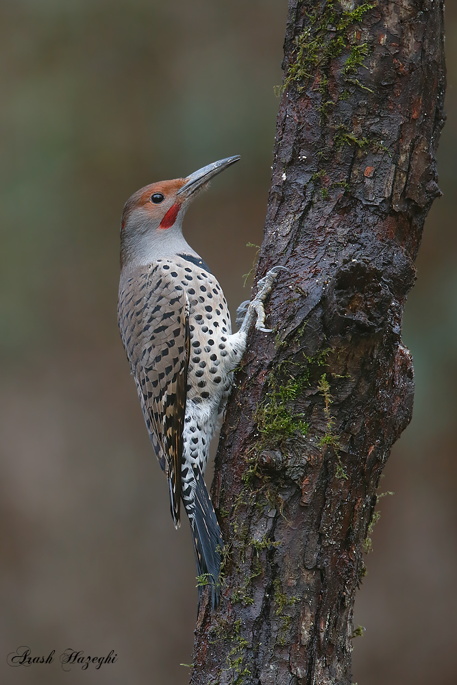 Northern Flicker. EOS-1D X, EF 400mm f/4 DO IS II plus Extender 1.4X III. ISO 1600. f/5.6 at 1/200sec. Hand held from blind.